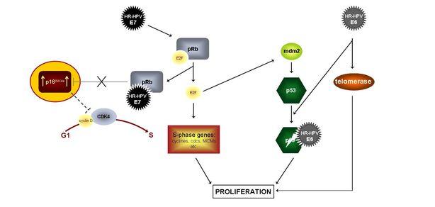 Hpv p16 virus. Tratamentul paraziților interni